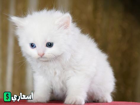 اسعار القطط في السعوديه