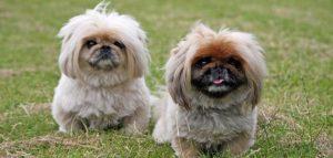 اسعار الكلاب اللولو .. مواصفات افضل كلاب اللولو الصغيرة
